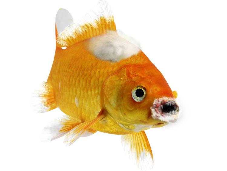Hasta Japon Balığı