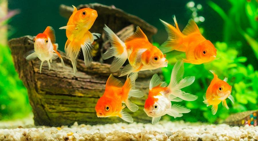 Japon Balığı Akvaryumu