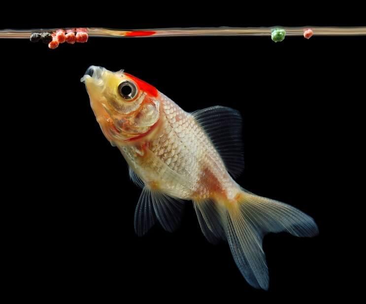 Japon Balığı Beslenme