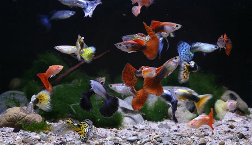 Lepistes Balığı Akvaryumu