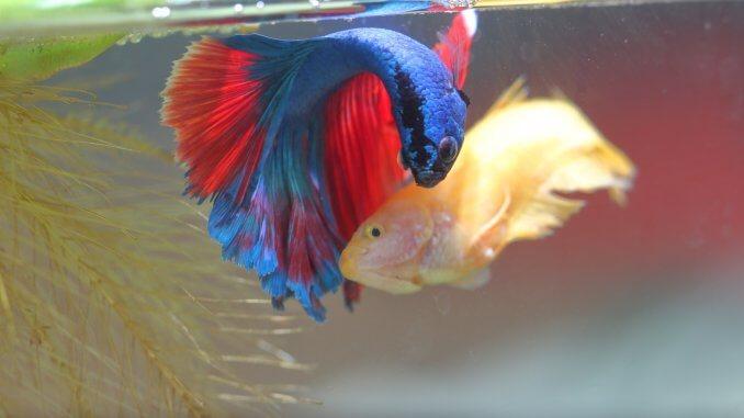 Beta Balığı Kur ve Üreme Dansı