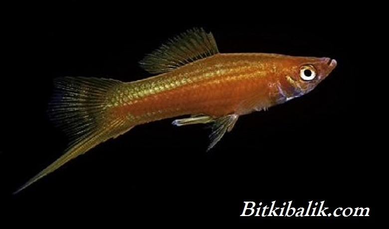 Doğal Renkleriyle Erkek Kılıçkuyruk Balığı