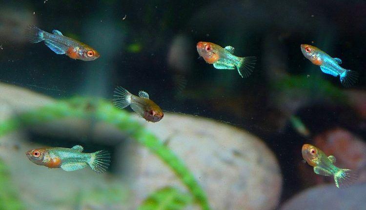 Gelişmekte Olan Yavru Beta Balıkları