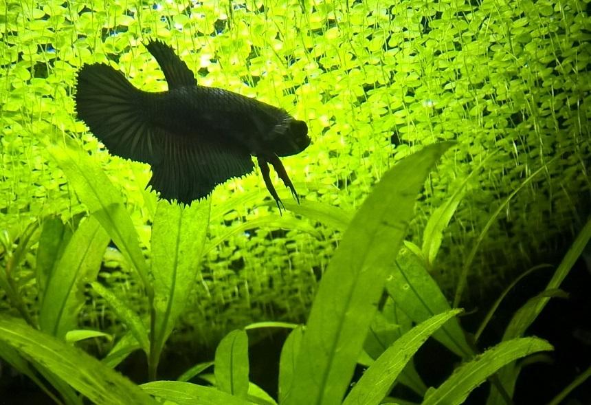 Beta Akvaryumu - Yüzeyde Su Mercimekleri