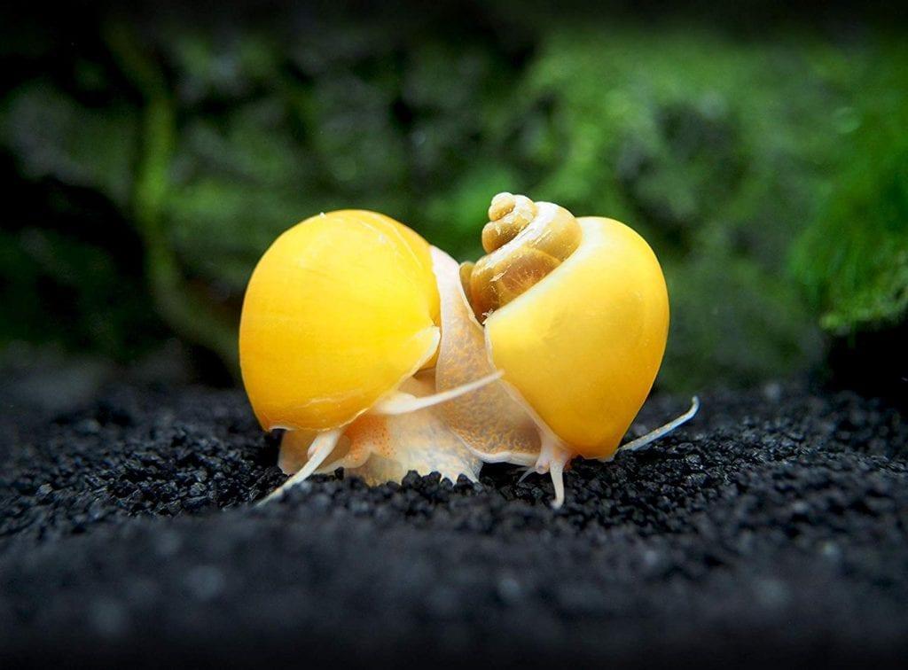 Elma Salyangozları
