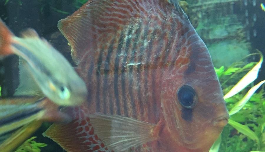 Hasta Discus Balığı - Aşırı Mukoza Üretimi Gözlemlenmekte