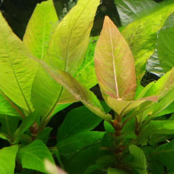 Hygrophila Corymbosa Bronzlaşan Yapraklar