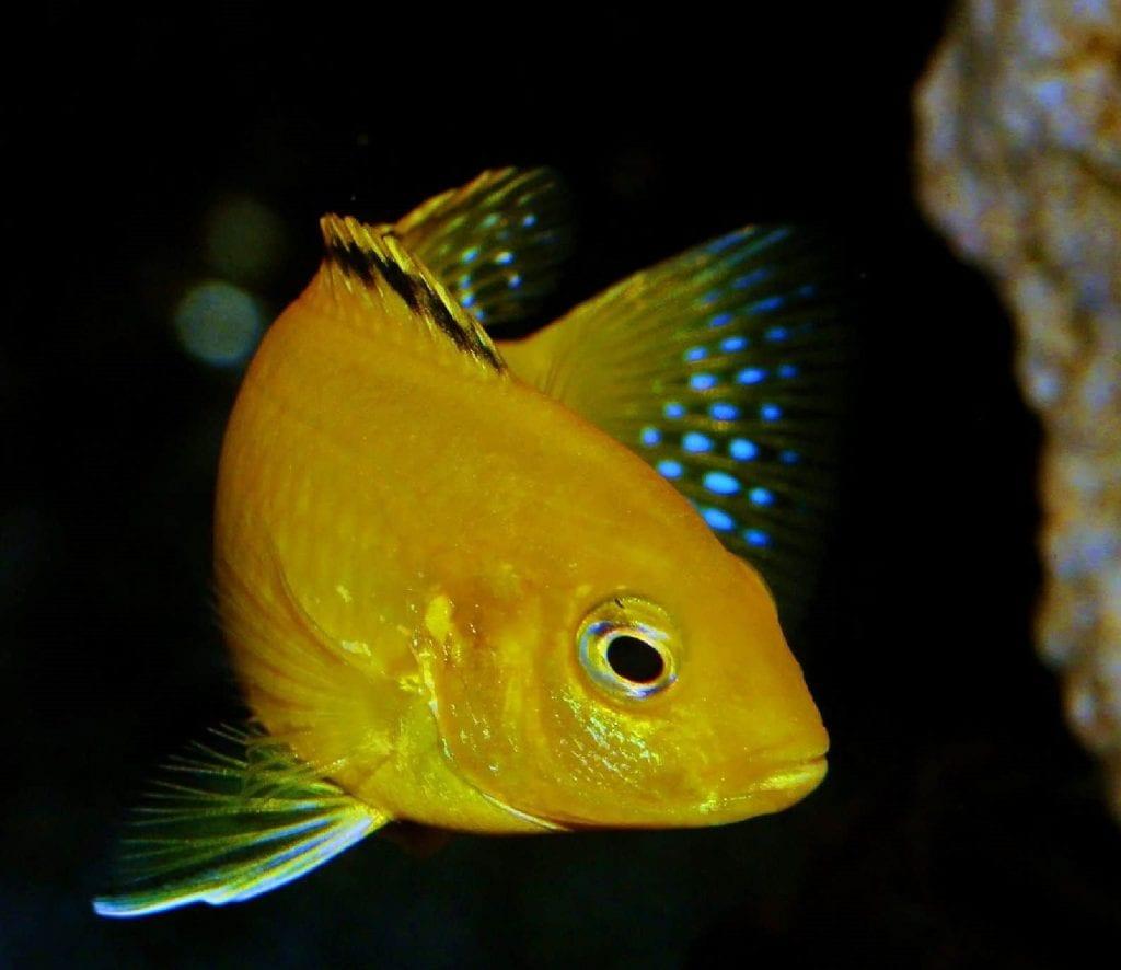 Sarı Prenses Cichlid