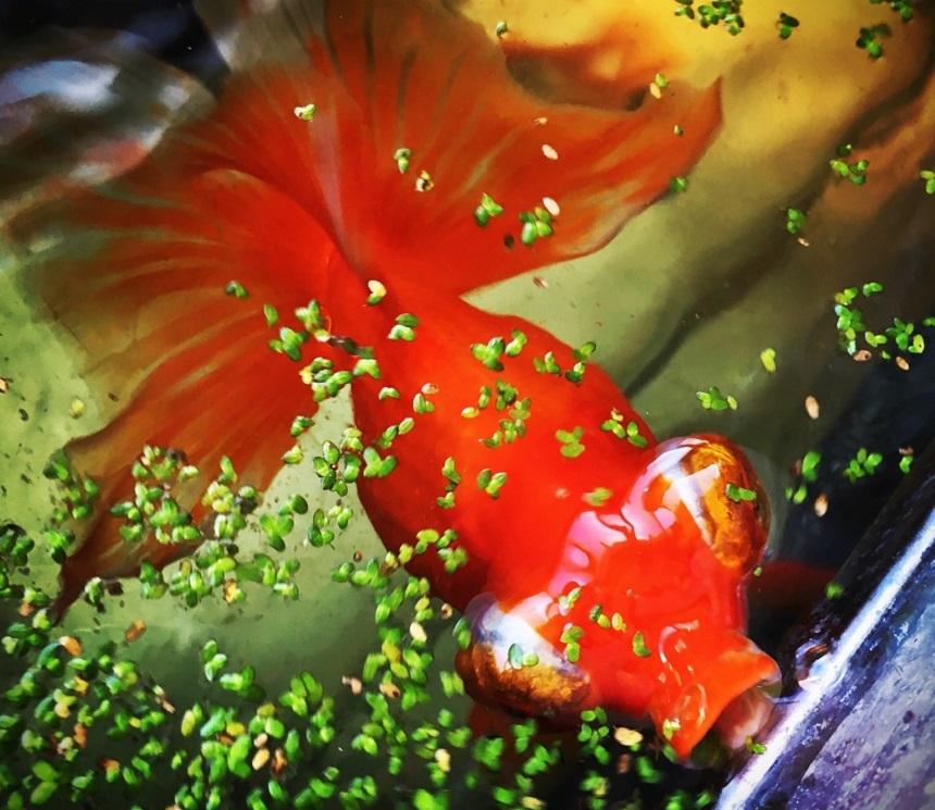 Su Mercimekleriyle Beslenen Japon Balığı