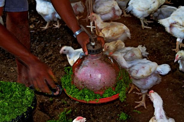 Tavuk Yemi Olarak Verilen Su Mercimekleri