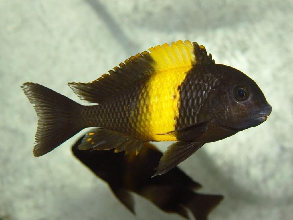 Tropheus Cichlid