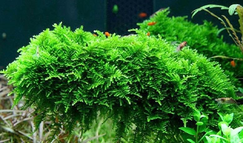 Christmass Moss (Noel Yosunu)