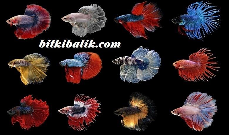 Beta Balığı Türleri