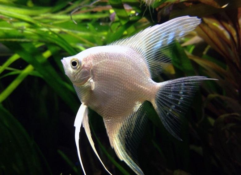 Beyaz Melek Balığı