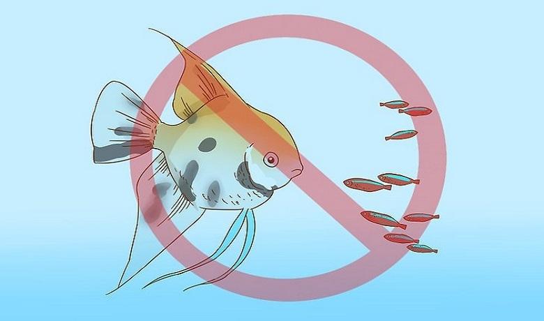 Ciklet ve Tetra Balıkları Fanusta Beslenmeye Uygun Değildir