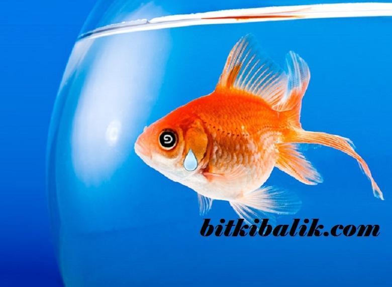 Fanusta Japon Balığı