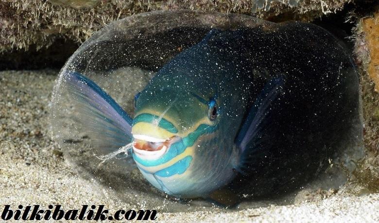 Parrot Fish Mukoza Uyku Kozası