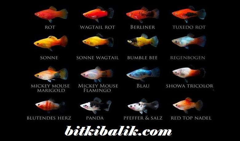 Plati Balıkları
