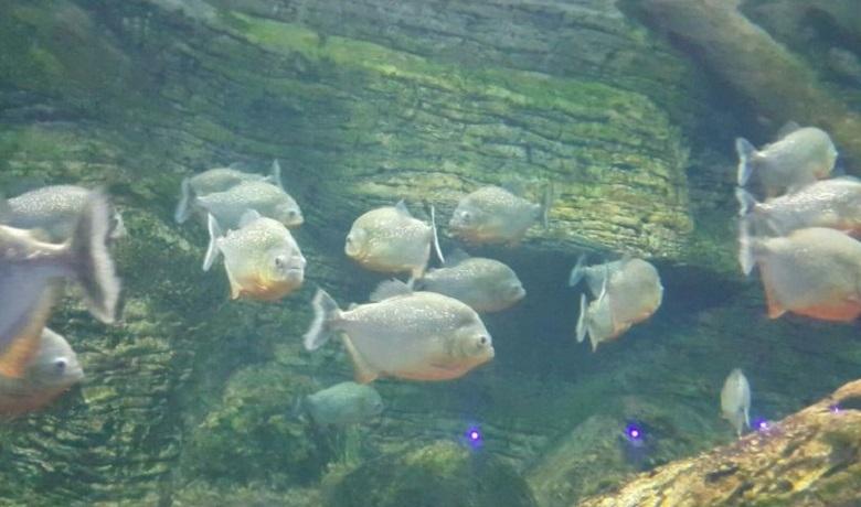 Aquavega Tematik Akvaryum Piranalar