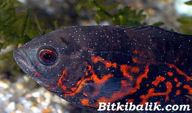 Oscar Balığı Beyaz Benek Hastalığı