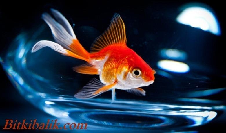 Fanusta Japon Balığı Beslemek