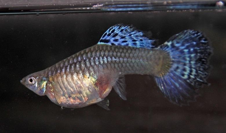 Hamile Dişi Lepistes Balığı