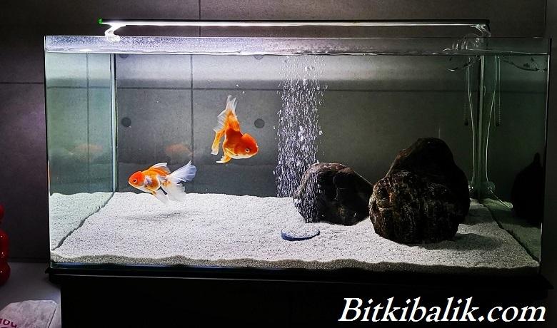 Akvaryumda Japon Balığı Beslemek