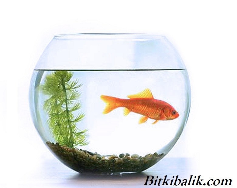 Japon Balığı Fanus