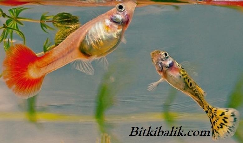 Lepistes Balığı Beslenmesi