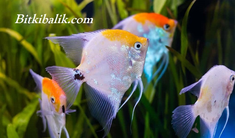 Melek Balığı Beslenmesi