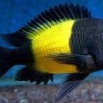 Tropheus Ikola Balığı
