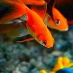 Taban Malzemesi İle İlgilenen Balıklar