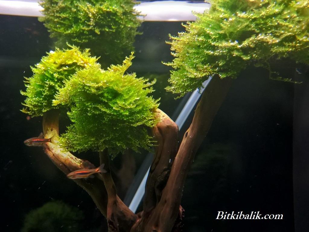 Ağaca Moss Sarımı
