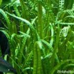 Akvaryum Bitki Bakımı