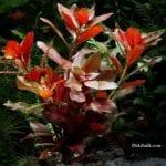 Akvaryum Gül Bitkisi Özellikleri