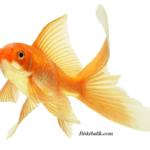Akvaryum Japon Balığı