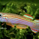Akvaryum Killi Fish