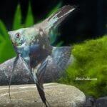 Akvaryum Melek Balığı Özellikleri