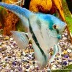 Akvaryum Melek Balıkları