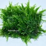 Akvaryum Moss