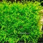 Akvaryum Moss Dikimi