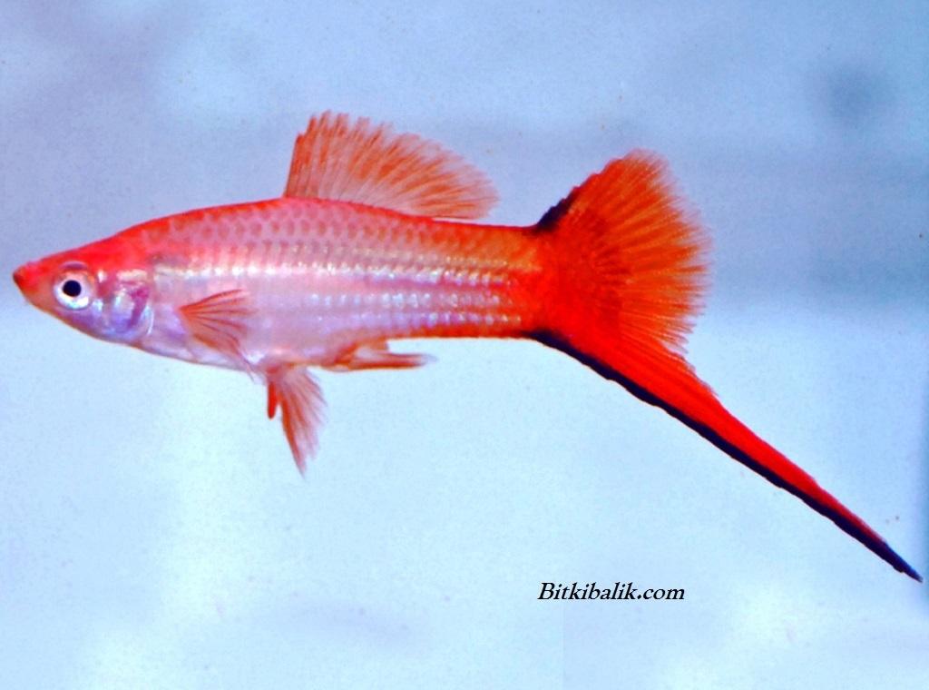 Akvaryumda Kılıç Balığı Bakımı