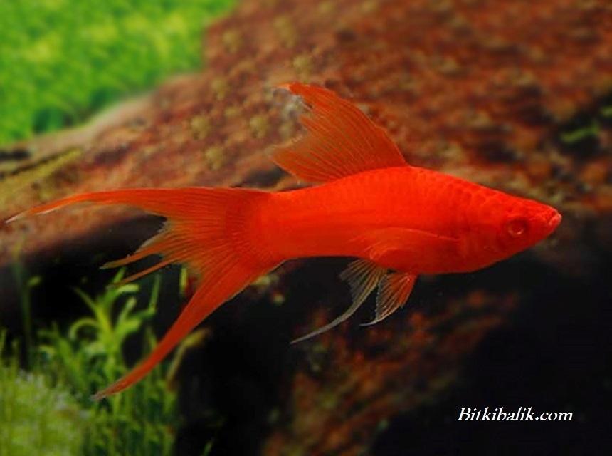 Albino Full Red Kılıç