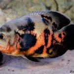 Astronot Ciklet Oscar Balığı