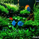 Bitkili Akvaryumda Beslenen Balıklar