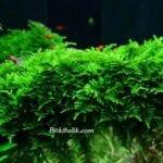 Christmas Moss Fiyat