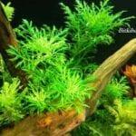 Çınar Akvaryum Bitkileri