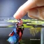 Evcil Betta Balığı