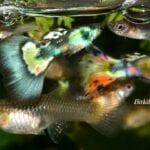 Evde Lepistes Balığı Üretimi