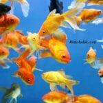 Japon Balıkları Brokoli Yer Mi